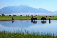 Figure 1. Buffalo in wetlands west of Great Sand Dunes National Park